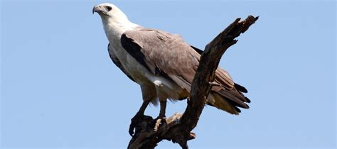 10 birds of prey to see in South Australia - Good Living